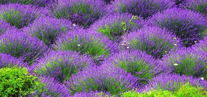 Lavender fields on the island of Palmižana